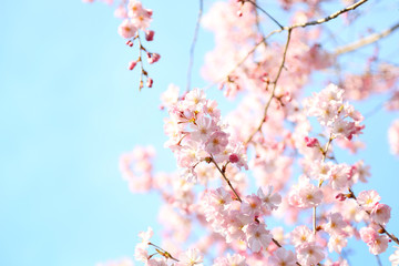 Close up of cherry tree against blue sky