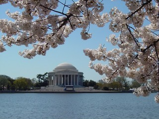 Close up of cherry blossom branches with Jefferson Memorial in background
