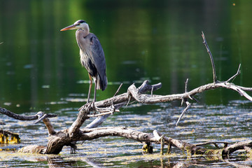 A Great Blue Heron stands on a dead tree branch over water Wall mural