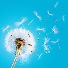 Close up of dandelion with flying seeds against sky