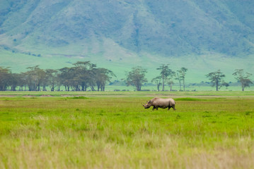 Black rhinoceros (Diceros bicornis) in Ngorongoro Conservation Area, Tanzania