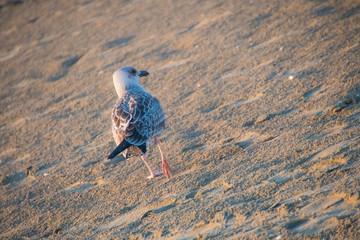 Back seagull walks on the sand of the beach