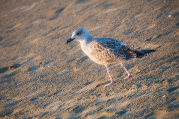 Seagull walks on the sand in the foreground