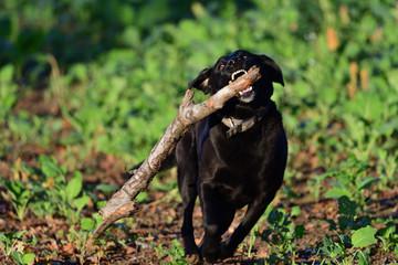 Black Labrador running with a stick