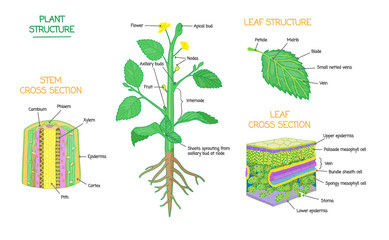 Plant structure and cross section botanical biology labeled diagrams collection