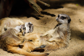 Relax of wild African Meerkat (Suricata suricatta) family
