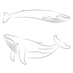 Black line whale on white background. Hand drawing vector. Sketch style graphic animal.