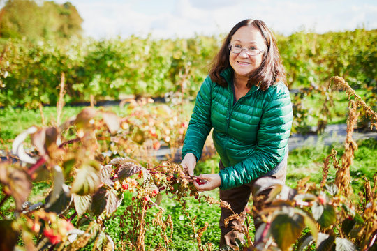 middle aged woman gathering raspberries on farm
