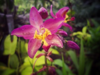 Tropical exotic magenta fuchsia orchid (flower) with bright yellow central petals