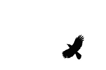 A photo of crows taken in flight on a white background