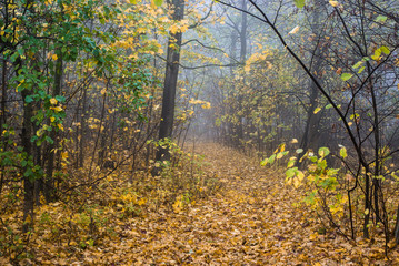 Morning fog in the forest, green and golden leaves, Latvia