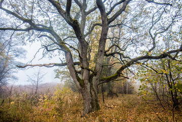 Autumn landscape. An old tree in the golden forest, close-up, Latvia