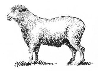 standing sheep animal. Ink black and white illustration