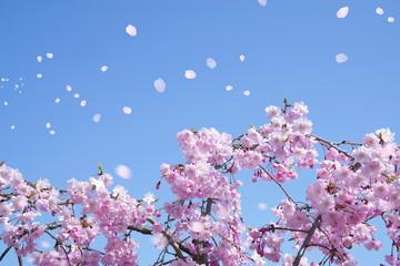 Wall Mural - 満開の桜(青空に舞い上がる花びら)