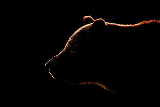 Brown bear face contour in side view. Bear face on black background.
