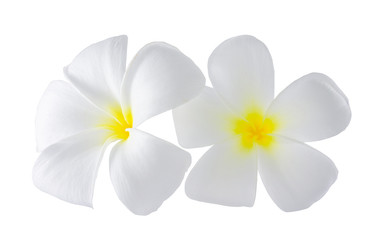 Isolated plumaeria flowers on the white background with clipping path