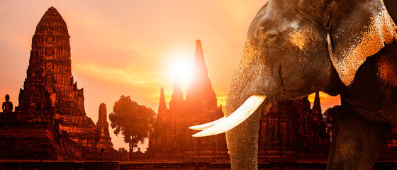ivory elephant and ayuthaya ancient pagoda with sunset sky background