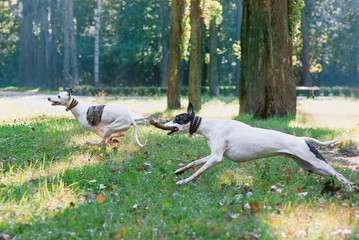 two white whippets playing outdoor in the park