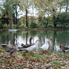 Famiglia di Oche al lago in autunno