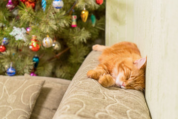 Young red cat of Maine Coon breed sleeping on top of sofa near decorated Christmas tree. Greeting card for new year cozy home holiday
