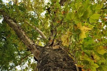 Bottom view of an very big secular oak on autumn