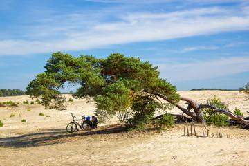 Pine tree in the National Park Hoge Veluwe, Netherlands.
