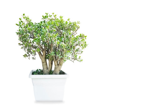 Big old money tree Crassula ovata in the pot isolated over white background