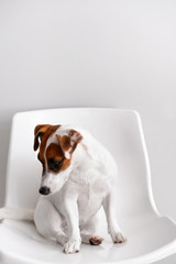 Cute funny dog sitting on chair against white wall