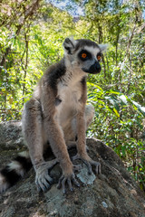 Ring Tailed Lemur  kata ,Portrait,Close up Ring-tailed lemur.Wild nature Madagascar