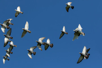 flock of speed racing pigeon flying against clear blue sky