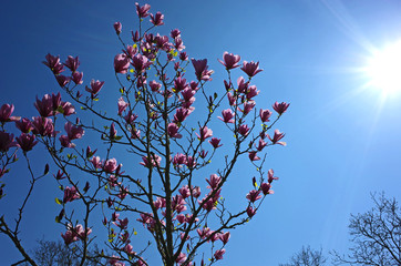 Amazing blooming magnolia tree in spring season photo against sun on blue sky background in Helsingborg city southern Sweden