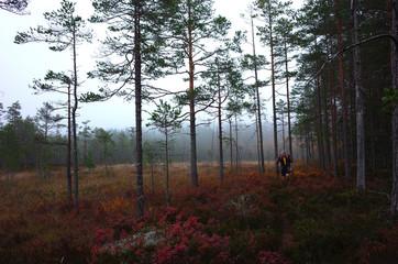 Man hiking Bruksleden trail in pine forest, Nature of Sweden in autumn