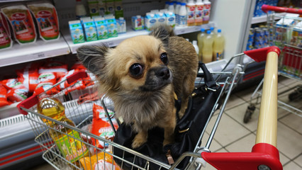 Small dog sitting in a trolley in a supermarket