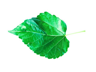 Isolated leave on the white background . It is Mulberry.