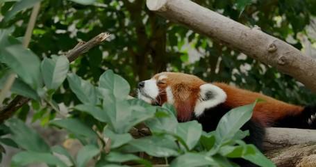 Fototapete - Red panda sleep on the tree