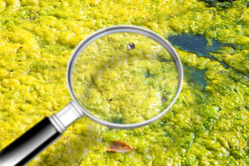 Stagnant water background with yellow algae floating on the surface level - Concept image seen through a magnifying glass