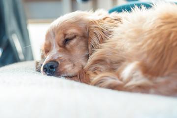 Beautiful Cute Golden Brown Cocker Spaniel Dog Puppy