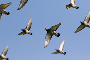 speed racing pigeon flying against clear blue sky