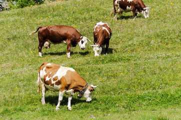 Some cows grazing in a sunny day