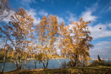 Autumn birch grove on the banks of the Angara