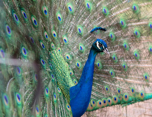 Side view of a male peacock displaying its colorful feathers