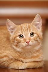 cute little red kitten