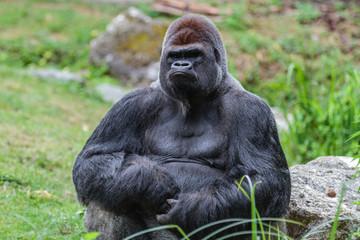 Gorille mâle dominant dos argenté
