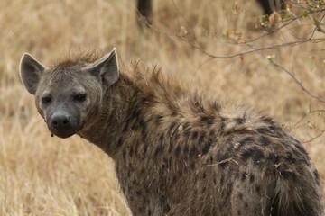 Papiers peints Hyène Hyena in the Masai Mara