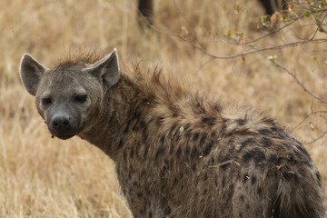 Photo sur Plexiglas Hyène Hyena in the Masai Mara