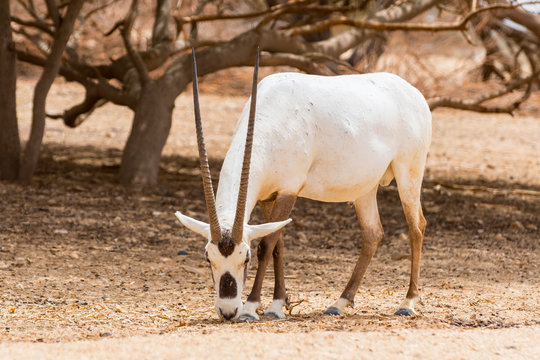 Antelope, the Arabian oryx or white oryx (Oryx leucoryx) in Yotvata Hai Bar Nature Reserve, Israel.