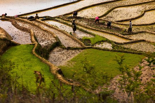 rice field at Madagascar