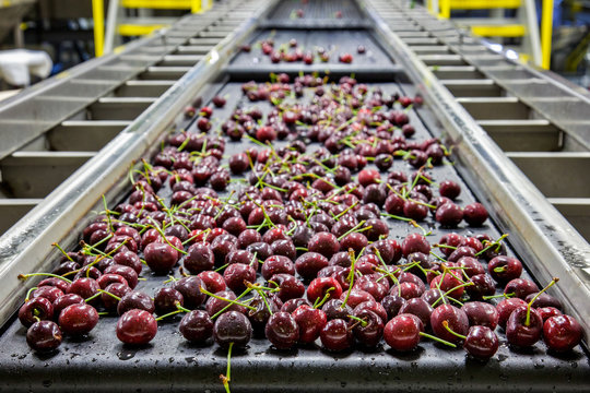 Red ripe cherries on a wet conveyor belt in a packing warehouse