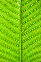 Fototapete - green leaf texture - background
