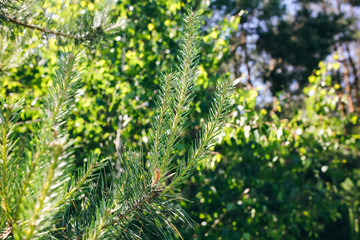 Fir tree branch in the forest. Green pine in the summer wood. Ecological wallpaper background.